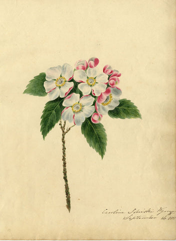 Caroline Sobieski Wynne, Apple Blossom Flowers - 1818 watercolour painting