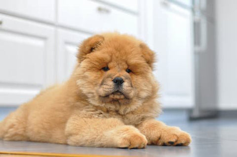 a picture of a chow chow puppy