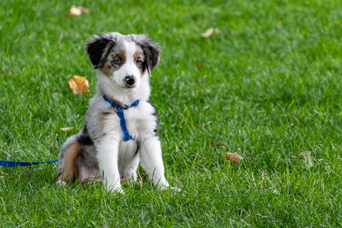 Australian shepherd in a field of grass with a blue harness on