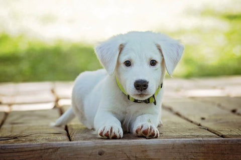 White lab puppy laying outdoors in a bright yellow collar