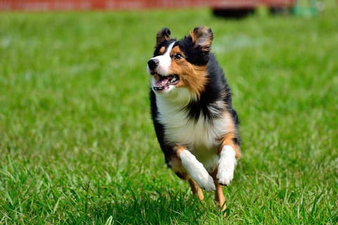 Australian shepherd running through a field