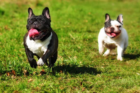 Two French Bulldogs Running to the camera with their tongues out