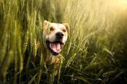 pit bull peaking out from wheat in a field