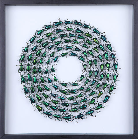 Framed Tropical Frog Beetles | Green | Real Dried - Natural History Direct Online Shop