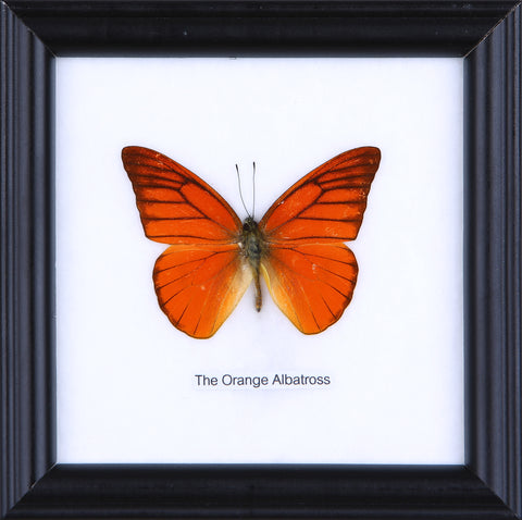 The Orange Albatross - Real Butterfly Framed - Natural History Direct Online Shop