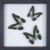 Stunning Mounted Butterflies | Framed Butterflies 12-042 - Natural History Direct Online Shop