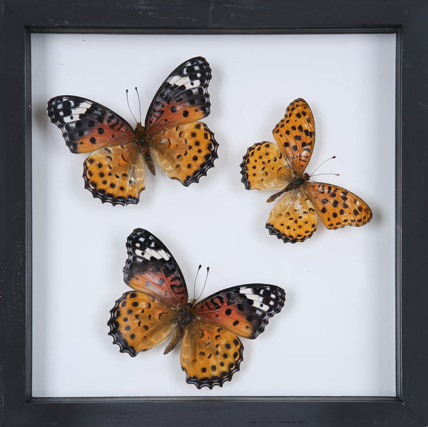 Stunning Mounted Butterflies | Framed Butterflies 12-055 - Natural History Direct Online Shop
