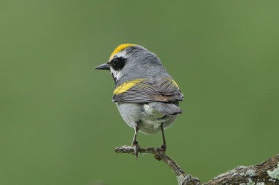 Warbler- Golden Winged