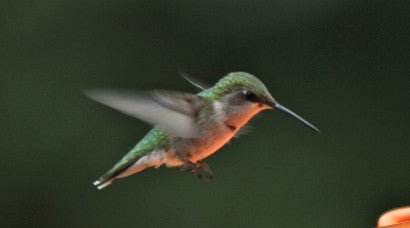 Hummer Ruby-throated #1