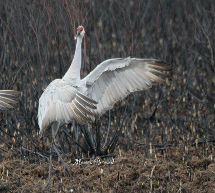 Sandhill Crane- After You!