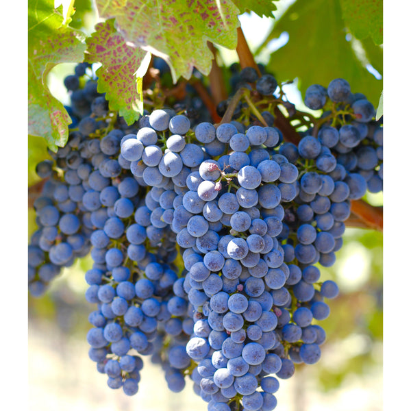 Photography-Lisa Dirito-Grapes-Canvas Frame