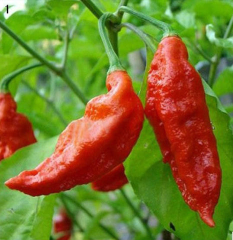 Bhut Jolokia Ghost Pepper