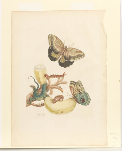 Banana with Tuecer Giant Owl Butterfly and Rainbow Whiptail