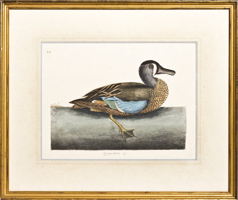 Framed-Garganey