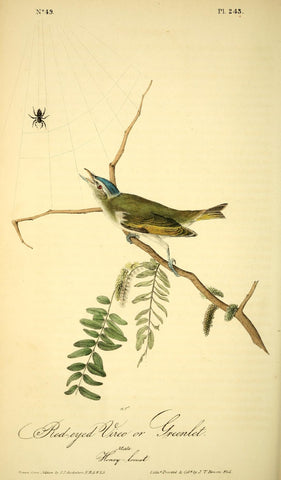 Red-Eyed Vireo or Greenlet