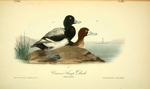 Common Scaup Duck