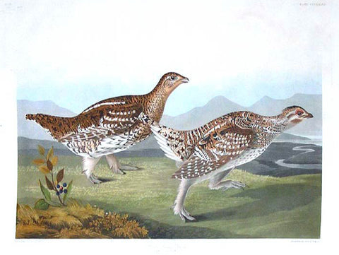 Plate 382 - Sharp-tailed Grouse