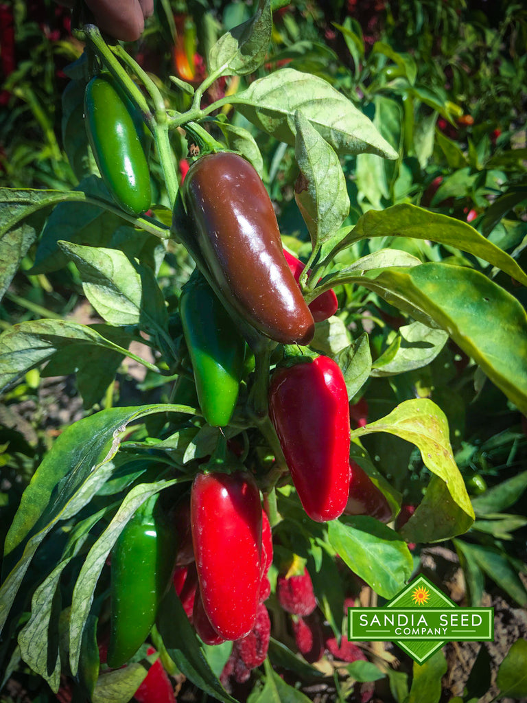 Jalapeño Early Seeds - Sandia Seed Company