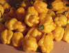 Scotch Bonnet Yellow 100 Seeds - Bulk - Sandia Seed Company