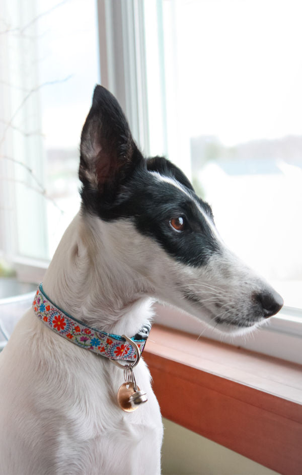 Beautiful Whippet dog wearing a floral dog collar with a copper bell staring out of a window