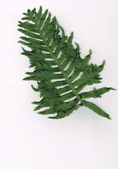 Polypodium cambricum 'Carew Lane'