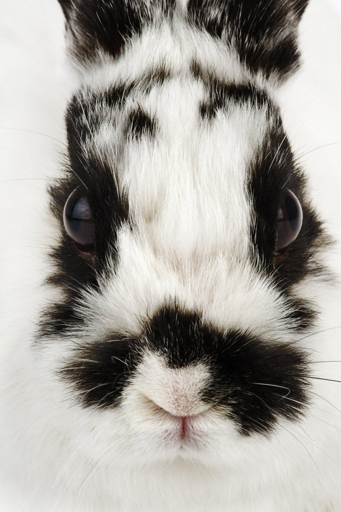 Detail of Face of Jersey Wooly Rabbit by Corbis