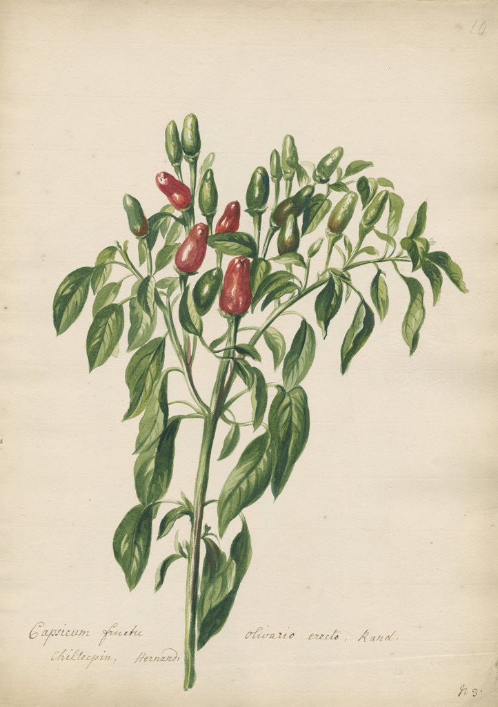 Detail of Capsicum fructu olivario... by Jacob van Huysum