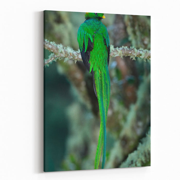 Resplendent Quetzal, Pharomachrus Mocinno, Magnificent Sacred Green Bird With Very Long Tail From Savegre In Costa Rica Canvas Wall Art Print