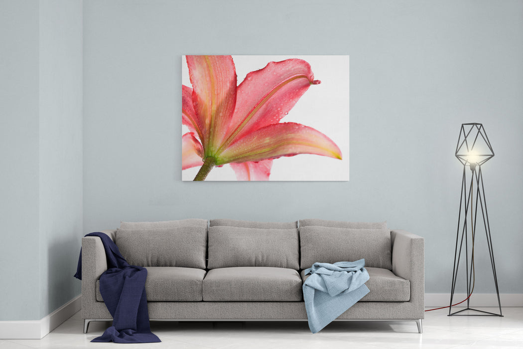 Wet Pink Lily From Below Against White Background Canvas Wall Art Print