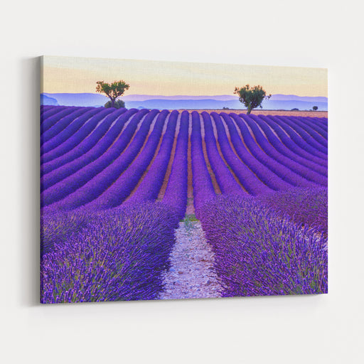 Lavender Field Summer Sunset Landscape With Two Tree Near ValensoleProvence,France Canvas Wall Art Print