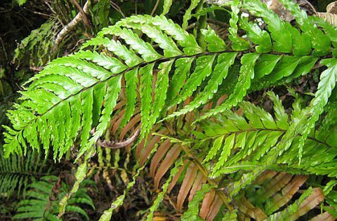 Angiopteris evecta - giant fern - king fern - 100 seeds