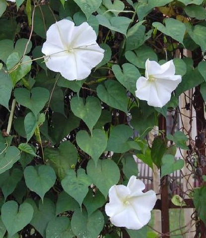 Ipomoea alba - moonflower - 10 seeds