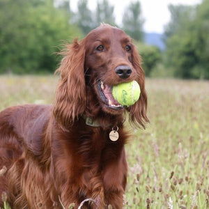 A day in the life of Rufus - the Red Setter who inspired a business.......