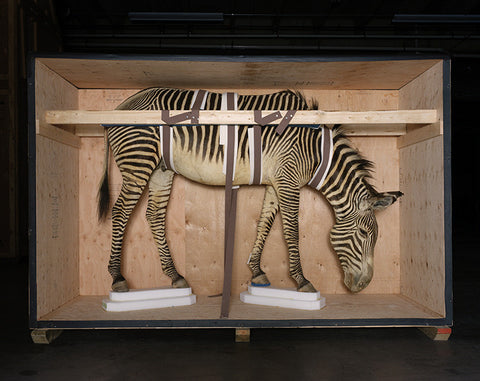 Smithsonian Zebra from Animal Logic - available in 3 sizes