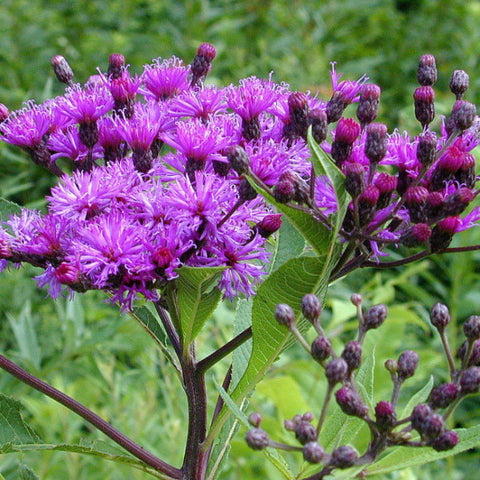 Vernonia fasciculata, Ironweed Seed Balls - Seed-Balls.com  - 1