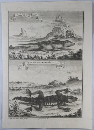 1745 engraving Small and Large Cape lizards (Africa)