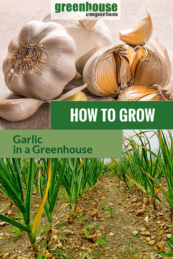 Above are pieces of garlic and below are planted garlic in rows with the text in the middle saying How to grow garlic in a greenhouse