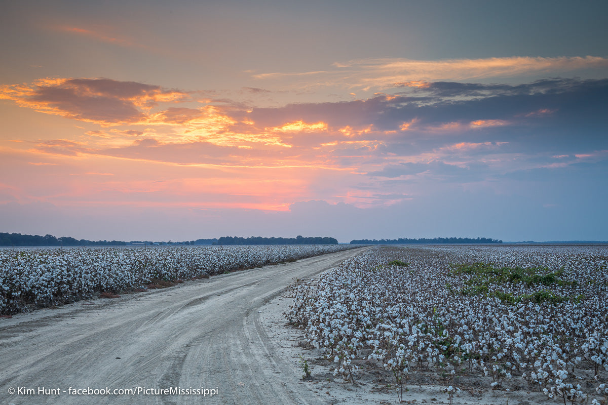 Cotton Turnrow Sunset