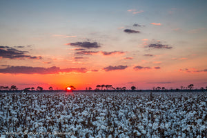 Bluff Cotton Sunset