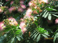 25 Rosa Silk Tree Seeds-1191