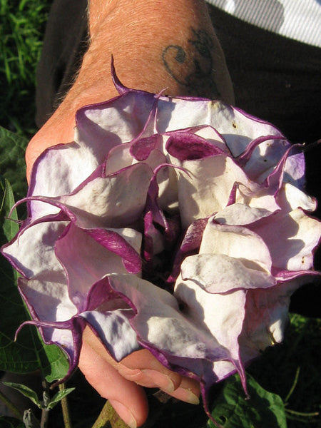 25 Purple Angel Trumpet Seeds-1058