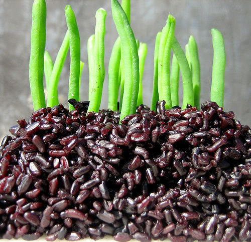 25 Forbidden Black Rice Seeds-1128A