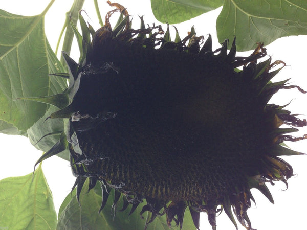 7 Giant Black Sunflower Seeds-1148A