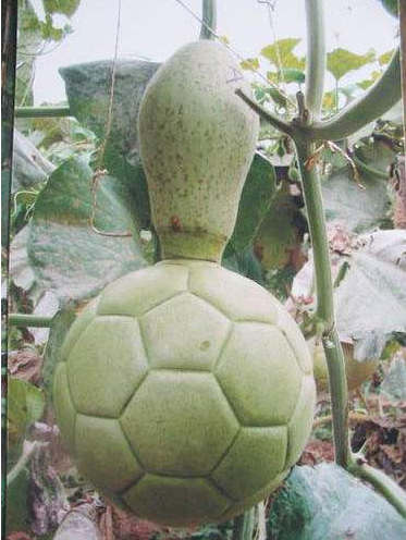 Football shape plastic mold for shaping watermelon gourd and pumpkin (free shipping)