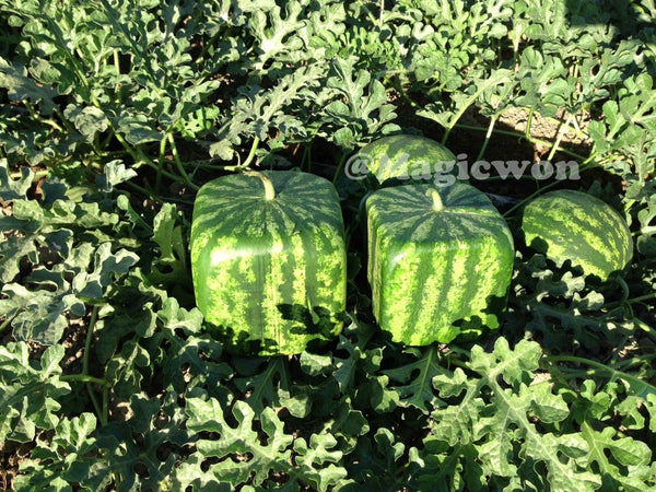 Square watermelon mold (18 cm size with free shipping)
