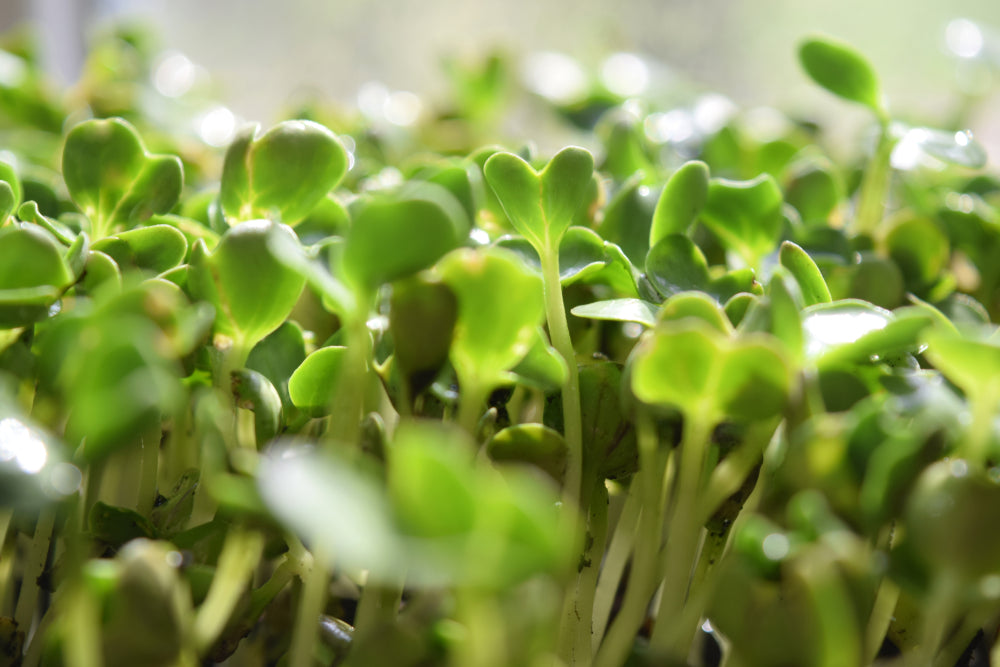 Salad Cress - Punnet
