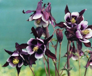 1 x AQUILEGIA William Guiness - 9cm Pot