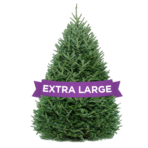DC Christmas Tree Delivery- Extra Large Trees