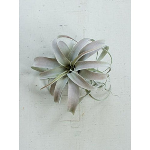 Extra Large Grey Air succulent - Les Spectacles French Industrial
