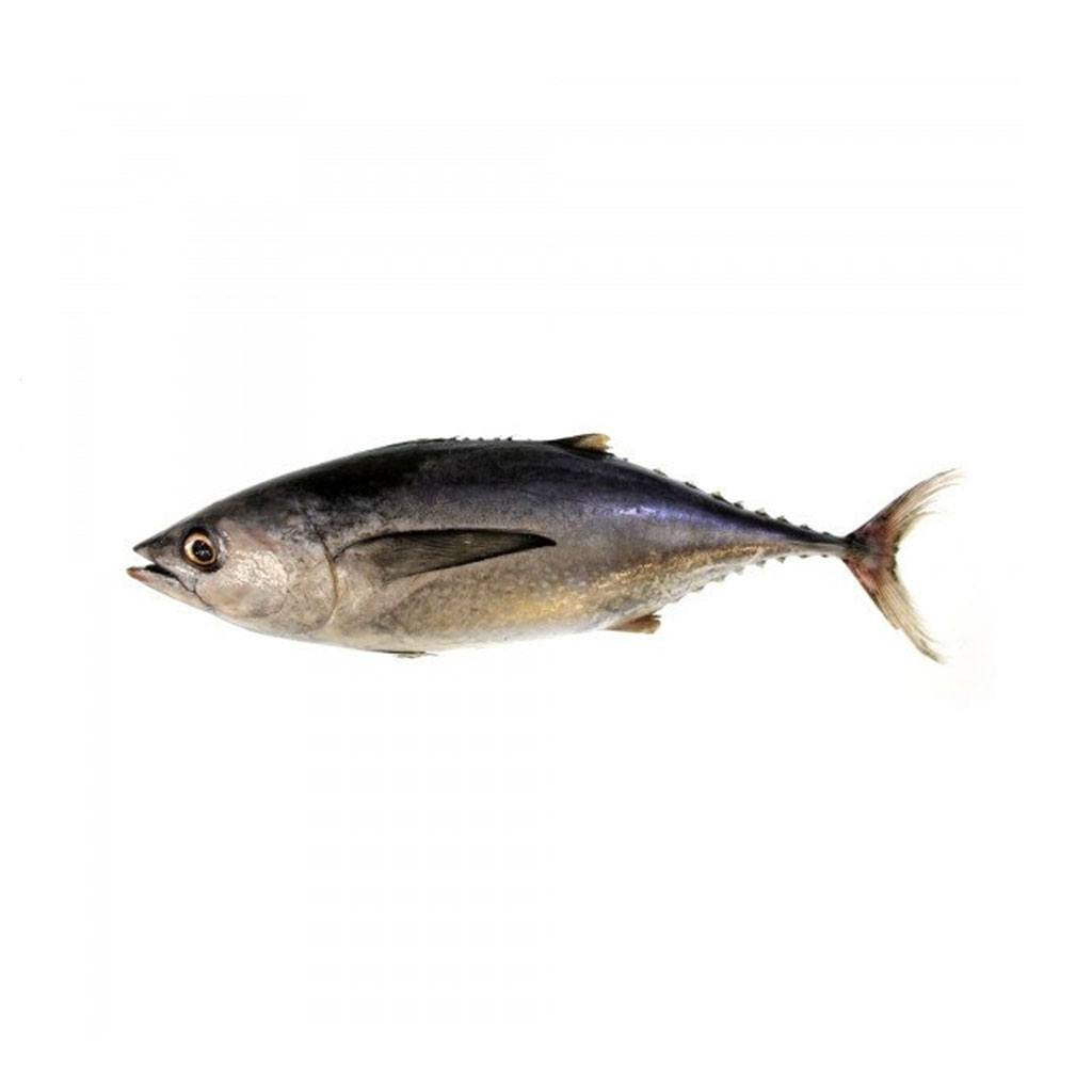 Ikan Tongkol Hitam / Black Mackerel Tuna